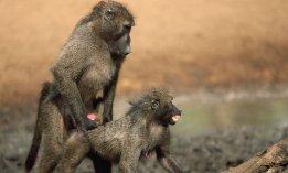 Gorille-sexe-nature-levrette